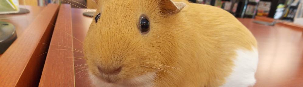 Guineau pig cropped ok